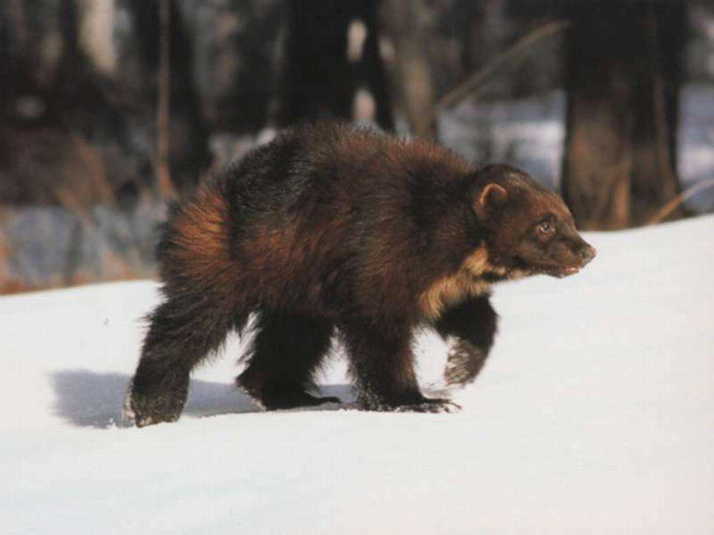 член медведя фото
